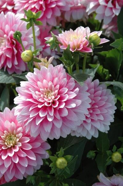 Dahlia décoratif Bagatelle