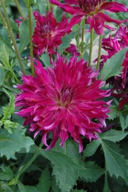 Dahlia Bangkok violet