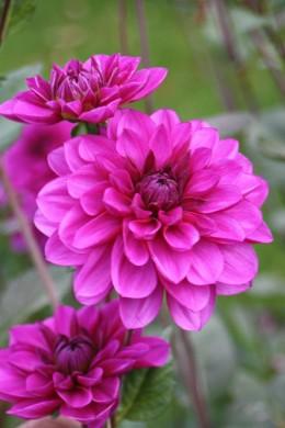 Dahlia décoratif Barbe Bleue variété Label Rouge