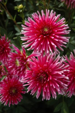 Dahlia Cactus Bon Esprit