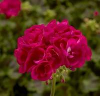 Calliope® M Hot Pink