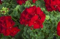 Calliope® M Red