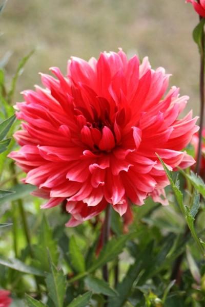 Dahlia décoratif Ciruela