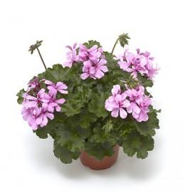Calliope® Cascade Dark Pink