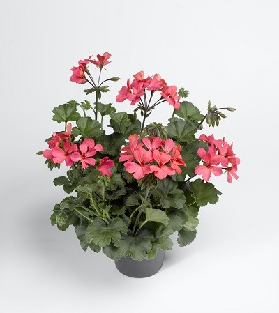 Calliope® Landscape Rose