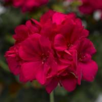 Calliope® M Hot Rose