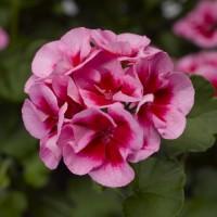 Calliope® M Rose Splash