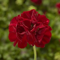 Calliope M Dark Red