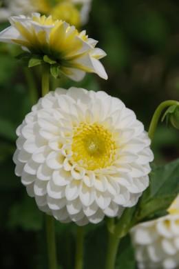 Dahlia Orage Blanc