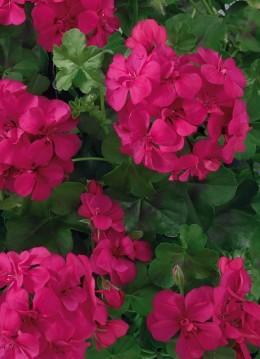Toscana® BIG 5 Neon Pink (India)