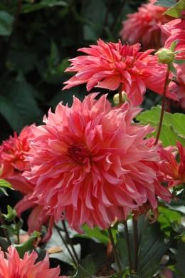 Dahlia La girafe rose