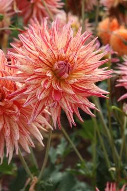 Dahlia cactus Marcanti