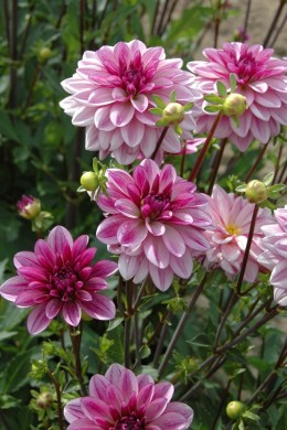 Dahlia Séduction