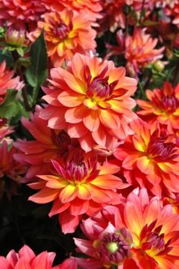 Dahlia Tricolore