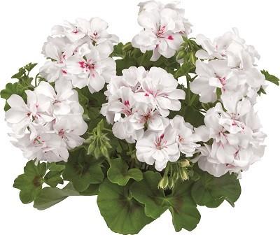 Toscana® BIG 5 White (White Angel)