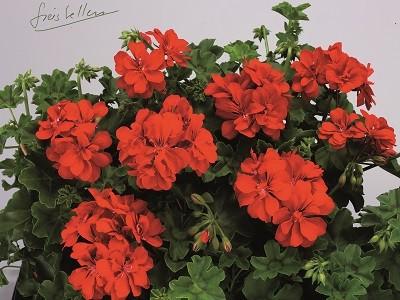Toscana® BIG 5 Red (Red Devil)