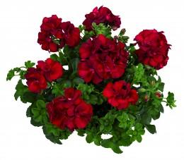 Toscana® Medio Dark Red (KAROLINA)