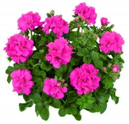 Toscana® Pink (LINDA)