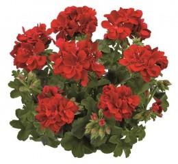 Toscana® Sunflair Red (PAULA)