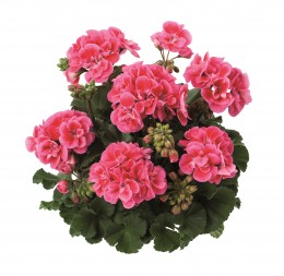 Toscana® Dolce Vita Rose Eye (Claudio)