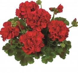 Toscana® Trend Dark Red