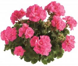 Toscana® Trend Hot Pink (Hanna)
