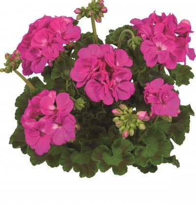 Toscana® Trend Lilac (Lavender Nova)