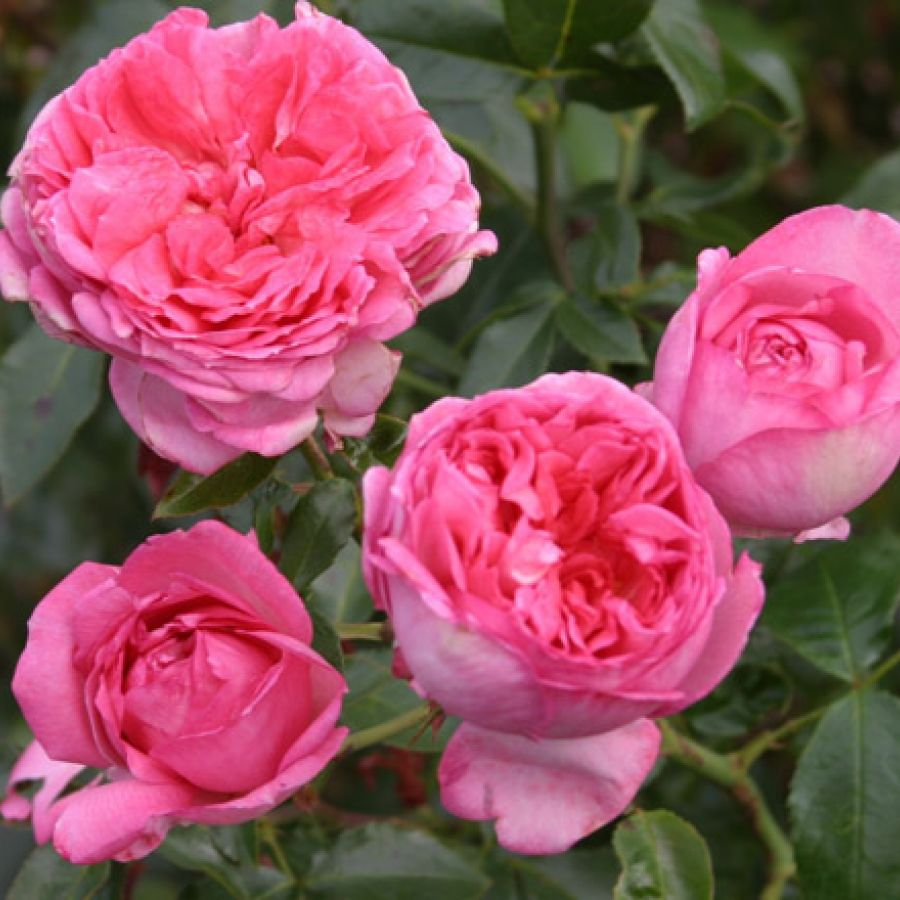 Rosier Label Rogue La Rose de Molinard